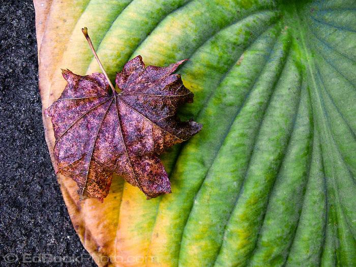 vine maple leaf on hosta leaf in autumn