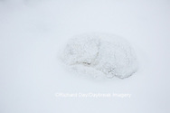 01863-01701 Arctic Fox (Alopex lagopus) in winter, Churchill Wildlife Management Area, Churchill, MB