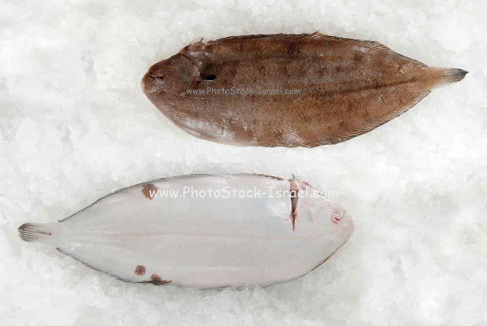 Fresh cultivated Sea Bream (Sparidae) on ice