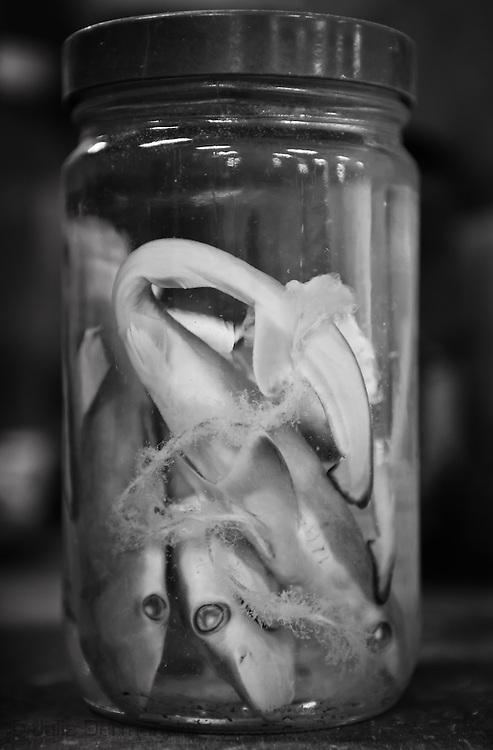 Baby sharks in a jar at the Tulane Natural History Museum.