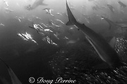 copper sharks or bronze whalers, Carcharhinus brachyurus, and Cape gannets, Sula capensis, attack a baitball of sardines or pilchards, Sardinops sagax, the Wild Coast, Transkei, South Africa ( Indian Ocean )