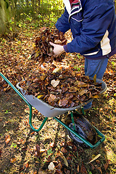Gathering leaves in a wheelbarrow to make leaf mould
