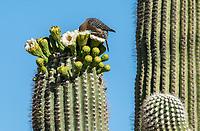 A Gila Woodpecker, Melanerpes uropygialis, feeds on flowers of a Saguaro cactus, Carnegiea gigantea, in Saguaro National Park, Arizona