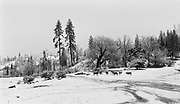 9912-07. livestock in the snow. winter scene near Yellowstone Park in Wyoming. 1940s