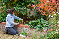 Planting out wallflowers in a border in autumn. Erysimum