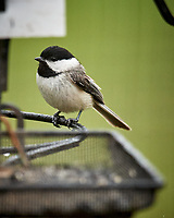 Black-capped Chickadee. Image taken with a Nikon D5 camera and 600 mm f/4 VR lens.