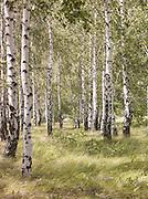 Silver Birch forest, Perm, Russia