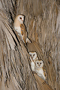 Barn Owl (Tyto alba) 3 on a Palm tree at night, Hefer valley, Israel