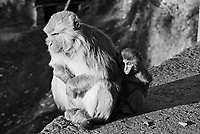 India, Shimla, 1999.  High in the forested hills above Shimla, a mother and child find sanctuary in the JakhuTemple, dedicated to Hanuman, the Hindu monkey god.
