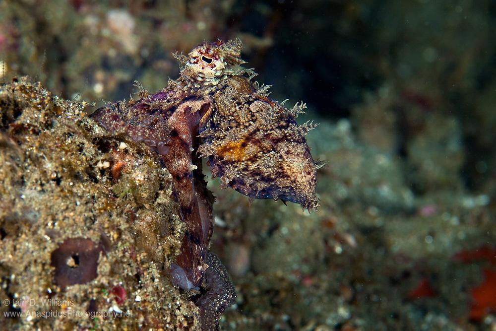 Octopus - Indonesia