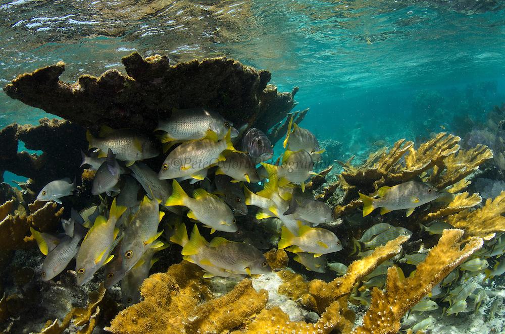 Schoolmaster (Lutjanus apodus) in Elkhorn Coral (Acropora palmata)<br /> Hol Chan Marine Reserve<br /> near Ambergris Caye and Caye Caulker<br /> Belize<br /> Central America