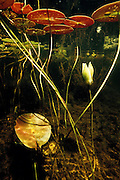 Lily pads and flower underwater - Quebec, Canada