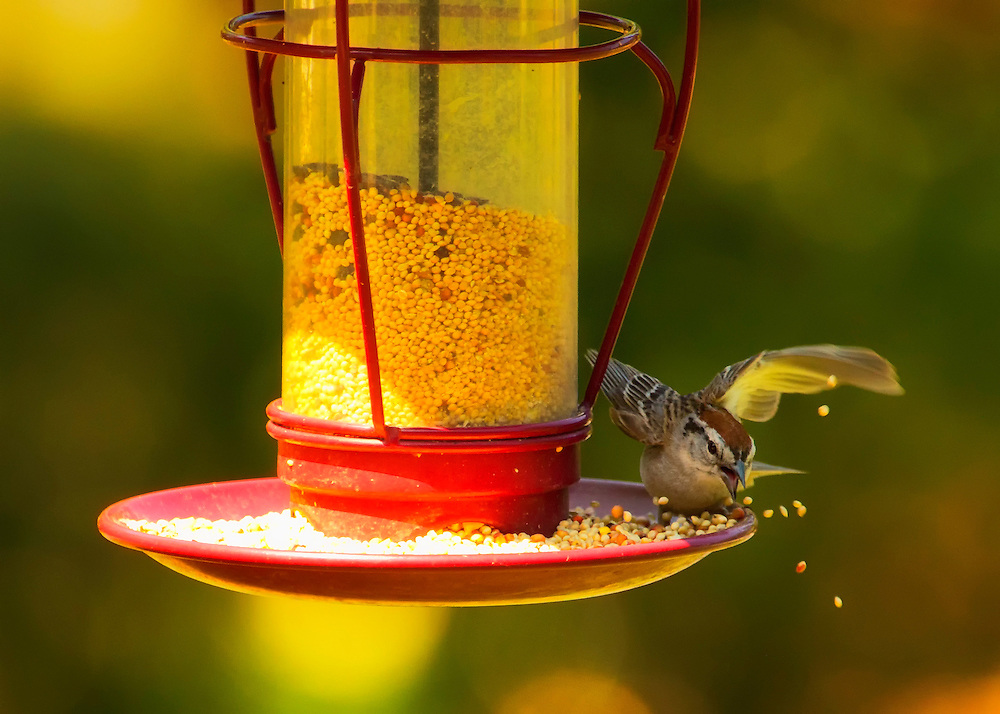 A Chipping Sparrow makes a splash in the birdseed on a red feeder on a sunny afternoon.