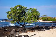Beach Heliotrope tree, Airport Beach, Kailua Kona, Island of Hawaii, Hawaii