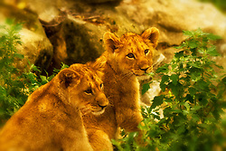 Baby Lion Cubs playing together at the Saint Louis zoo.