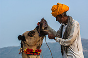 One-humped Arabian or Dromedary camel (Camelus dromedaries) with Rajasthani pastoralist at Pushkar camel and livestock fair.  Pushkar, Rajasthan. INDIA<br /> The man is inspecting the camel's teeth - an indication of good health - with a view to buying the animal.<br /> The camels arrive imaginatively sheared and tatooed to participate in the festivities. Since camels are not easy to distinguish - some traditional tattoos called Kheeng have been evolved. These help herders identify their camels with ease. Black henna or ink is normaly used but permanent marks are also made with the handles of large ladles heated on fire. These marks combined with Moondra-the decorative motives cut out of the hair give each camel its unique look. Added to these are personalized or regional fashions for the saddlery and trapping of his herd which remain the choice of each camel owner.  These long elaborate necks give plenty of space for necklaces and bells. The noses are often adorned with nose rings and the legs with bells.<br /> This fair takes place in the Hindu month of Kartik (October / November) ten days after Diwali (Festival of Lights). Pushkar has always been the the region's main market for herdsman and farmers buying and selling camels, horses, indigenous breeds of cattle and even elephants. Over the years this annual trading event has increased in volume to become one of the largest in Asia. Temporary tents and campsites suddenly appear to accomodate the thousands of pilgrims, villagers and tourists. Entertainers and contests abound and a festive funfair atmosphere prevails over Pushkar during the Mela's 2 week duration. Thousands of men come first with their camels, horses and cattle and camp on the dunes to transact business. 3 days before the full moon the women arrive beautifully attired. The 12 day fair culminates in a religious Hindu pilgrimage and reaches a crescendo on the night of the full moon (Purnima) when pilgrims take a dip in the holy lake of Pushkar.