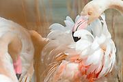 Pink flamingos, Flamingos, Pink Flamingos fine art photo, pink flamingos photography, flamingo photo, Camargue Flamingo