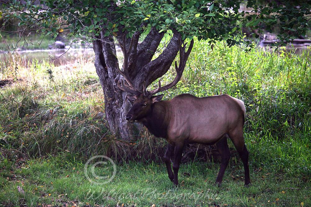 Roosevelt elk near a pond