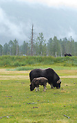 A musk ox and calf  graze on grass at the Alaska Wildlife Conservation Center near Girdwood, Alaska.