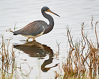 Tricolored Heron (Egretta tricolor). Black Point Wildlife Drive. Merritt Island National Wildlife Refuge. Image taken with a Nikon D3s camera and 200-400 mm f/4 VR lens.