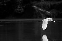 Little Egret flying across the Kinabatangan River.