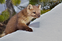 Long Tailed Weasel, Yellowstone National Park  Pine Martin