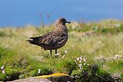 Great Skua, Stercorarius skua, standing on moorland in nesting area, Handa Island, Sutherland.