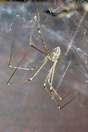 Daddy Long Legs Spider - Pholcus phalangioides