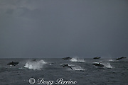 pantropical spotted dolphins, Stenella attenuata, porpoising out of the water while traveling at high speed, Wild Coast, Transkei, South Africa ( Indian Ocean )
