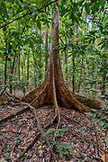 Ficus variegata from Tangkoko National Park, northern Sulawesi, Indonesia.