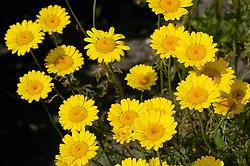 Gele kamille, Anthemis tinctoria