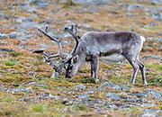 Svalbard reindeer (Rangifer tarandus plathyrhynchus) from Blomdalen, close to Longyearbyen, Spitsbergen, Svalbard, Norway.