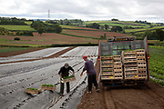 Male workers with a tractor planting strawberries outdoors, Riverford Organics farm, Totnes, Devon, UK food industry