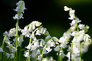 White Bluebells growing, England