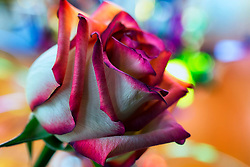 A rose with some colorful bokeh