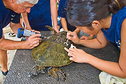 Teacher Marc Rice and his students from Hawaii Preparatory Academy (HPA), inscribing and painting a number on the carapace (turtle shell) of a Green Sea Turtle, Chelonia mydas, Marine Turtle Research, organized by researcher George Balazs, PhD, NOAA National Marine Fisheries Service (NMFS), HPA students and teachers (NOAA/HPA Marine Turtle Program), and ReefTeach volunteers at Kaloko-Honokohau National Historical Park, Kona Coast, Big Island, Hawaii, USA, Pacific Ocean