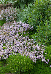 Thymus vulgaris (Jekka's Thyme) with Chamaemelum nobile (Chamomile), Lavandula angustifolia Miss Muffet = 'Scholmis'. <br /> (English Lavender), Thymus x citriodorus 'Fragrantissimus' (Orange scented thyme) and Pycnanthemum (Mountain mint). Check ids