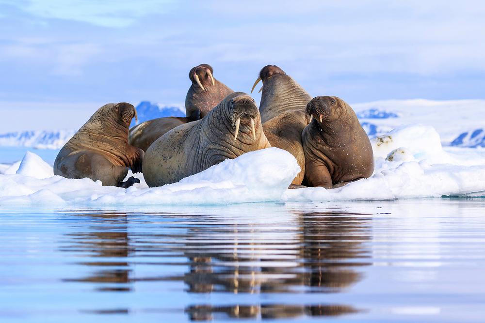 Svalbard, Lagoya, Walrus (Odobenus rosmarus) resting on an Arctic ice flow
