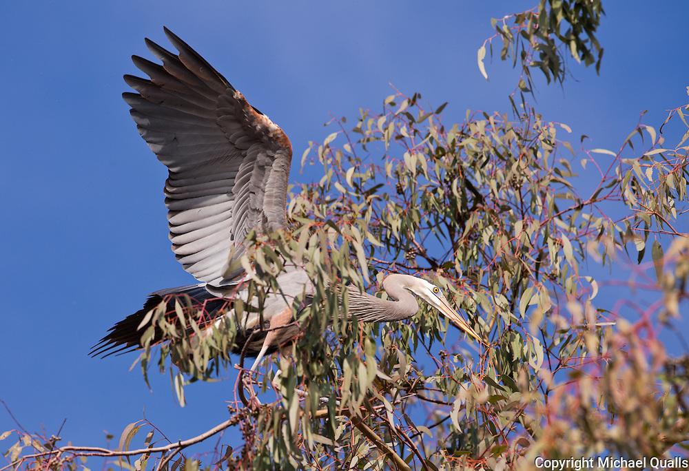 Great Blue Heron on landing