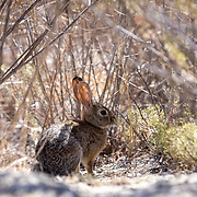 A rabbit sits in the shade of a bush in the Santa Monica Mountains where coyotes roam freely.