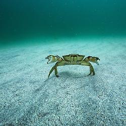 étrille, crabe, Ireland