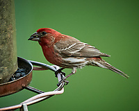 House Finch. Image taken with a Nikon D5 camera and 600 mm f/4 VR lens (ISO 1400, 600 mm, f/5.6, 1/1250 sec)