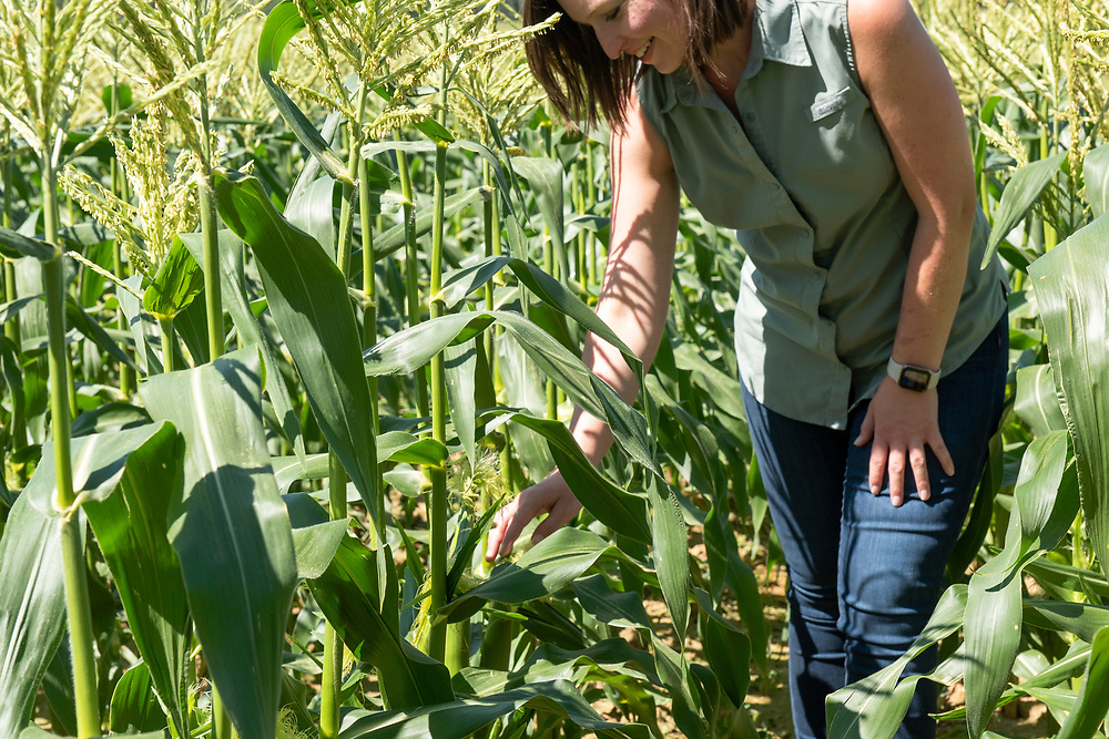 Casey Cox examines the growth of sweet corn. At age 30, she is  transitioning to the role of taking over the farming operations from her father, Glenn.