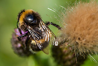 HALFWEG - insecten op de golfbaan , Aardhommel Bombus terrestri  Amsterdamse Golf Club. (AGC)  . Insecteninventarisatie  COPYRIGHT KOEN SUYK