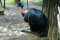 Bali, Gianyar, Batubulan. Golden Necked Cassowary, or Northern Cassowary, from Irian Jaya in Taman Burung, Bali Bird Park.