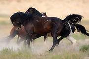 Wall Art of Horses for Sale- Wild Horses of the American West along the Utah, Nevada border. Photo by Colin E. Braley