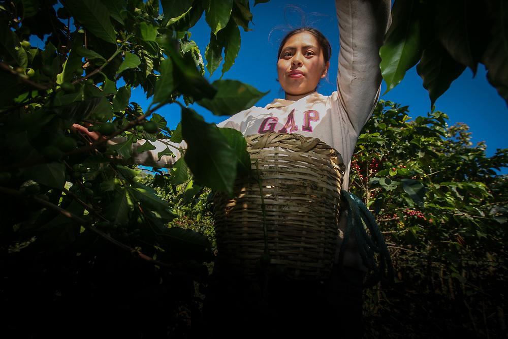 Margarita Pérez, 18, cutting coffee at a coffee farm linked to the COSAGUAL coop. COSAGUAL, Cooperativa de Servicios Agropecuarios Gualcinse Ltda, is a Fairtrade-certified coffee producer in Gualcinse, Lempira, Honduras.