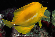 """yellow tang, Zebrasoma flavescens, showing<br /> defensive spine or """" scalpel """" at base of tail erected<br /> Kona, Hawaii, USA ( Pacific )"""