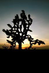 California: Desert.  Joshua Tree. Photo cadea2104..Photo copyright Lee Foster, 510/549-2202,  lee@fostertravel.com, www.fostertravel.com