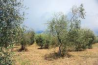 An olive grove in the Chianti area of Tuscany as a storm approaches.